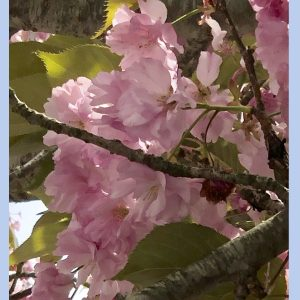 kwanzan cherry flower essence
