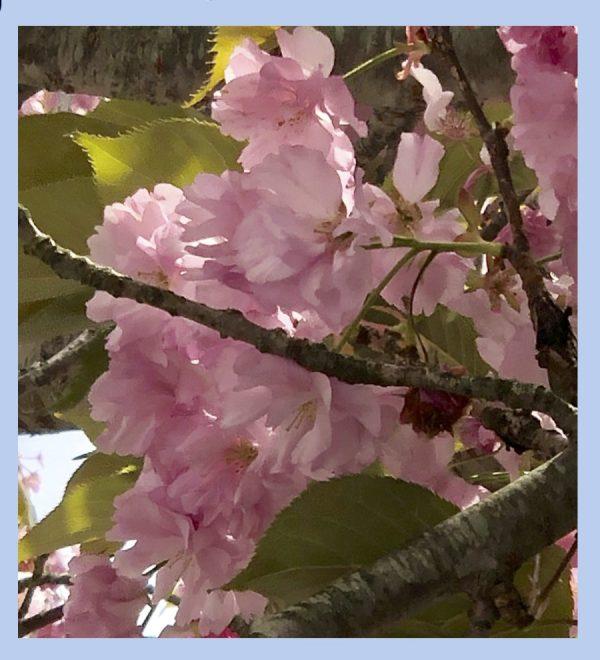 kwanzan cherry flower essence