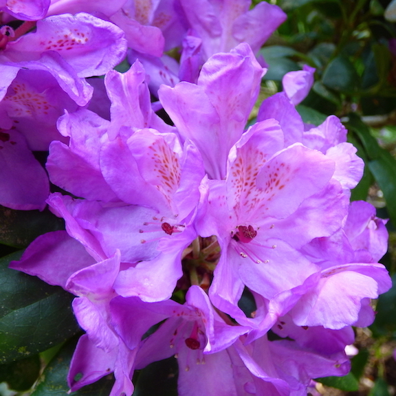 rhododendron flower essence