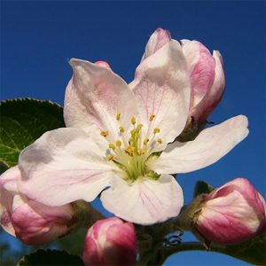 apple blossom flower essence